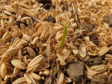 大根芽がピンチ3