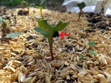 大根芽がピンチ4