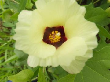 ワタの花と実7