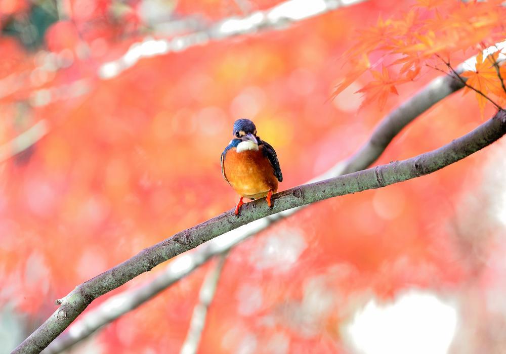 ○G○○○公園の紅葉カワセミ