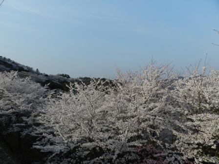 谷上山の桜 1