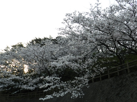 谷上山の桜 5