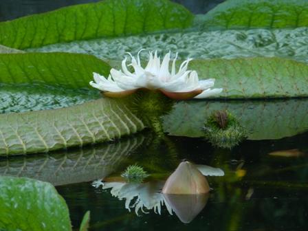 オオオニバスの花 4
