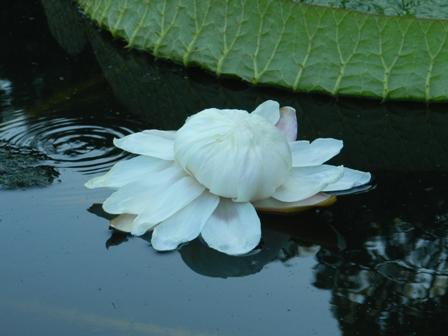 オオオニバスの花 6