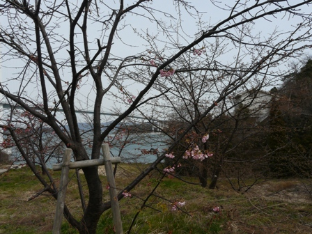 サンライズ糸山 河津桜 5