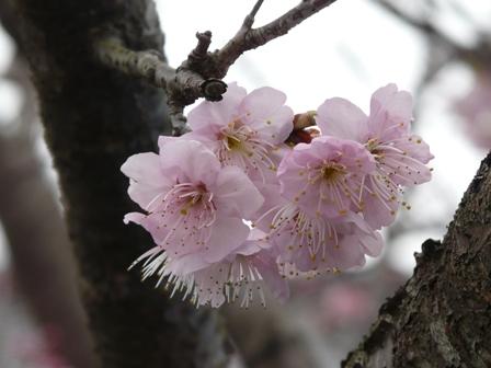 早咲きの桜 (寒桜?) 1
