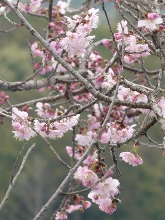 早咲きの桜 (寒桜?) 2