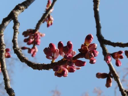 森の交流センター 寒緋桜