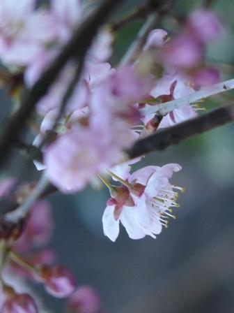 椿寒桜 6