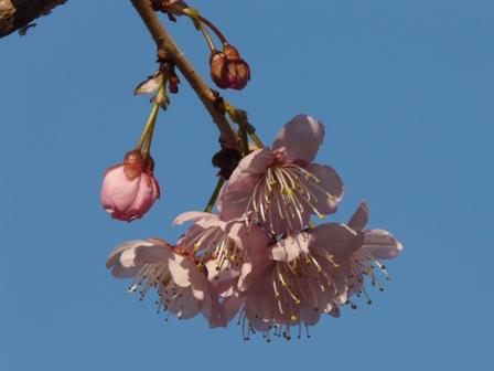 椿寒桜 4