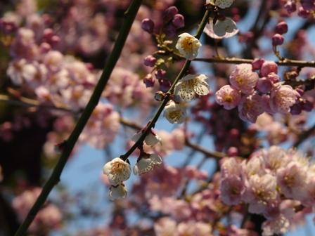白梅と椿寒桜