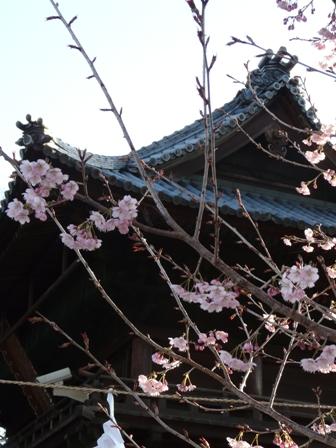 椿寒桜 5