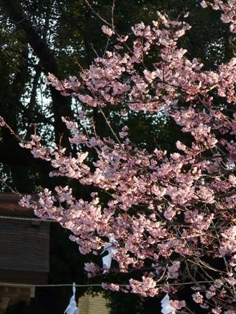 椿寒桜 1
