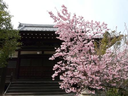 寒桜の仲間 1