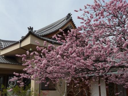 寒桜の仲間 2