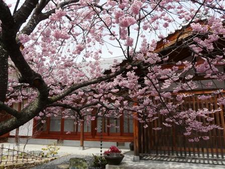 寒桜の仲間 3