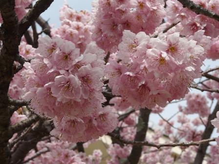寒桜の仲間 4