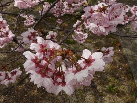 寒桜の仲間 5