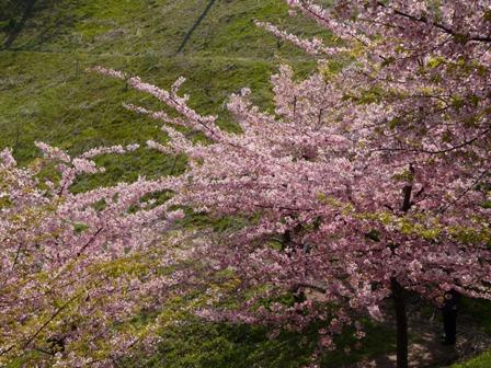 河津桜 (サンライズ糸山) 1