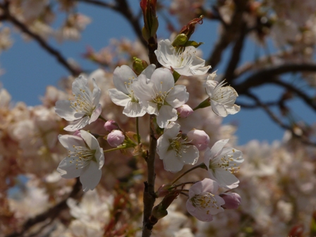 明正寺桜 4