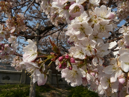 明正寺桜 3