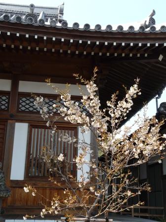 明正寺桜 5