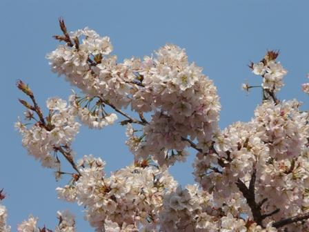 明正寺桜 2