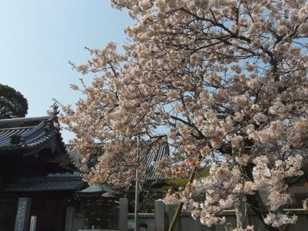 明正寺桜 1