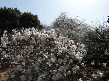 大宝寺 うば桜 & コブシ