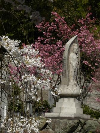 大宝寺 うば桜 & 陽光