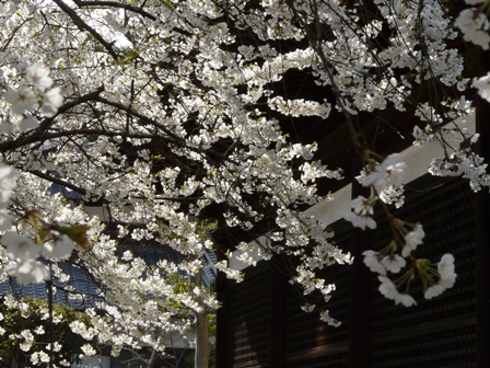 大宝寺 うば桜 4