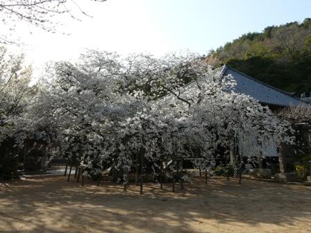 大宝寺 うば桜 1