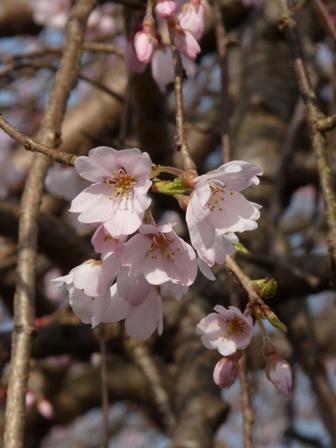 内子・郷の谷のしだれ桜 6