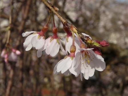 内子・郷の谷のしだれ桜 5