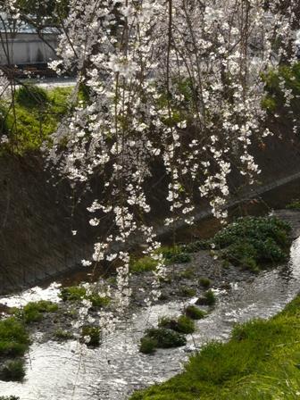 内子・郷の谷のしだれ桜 11