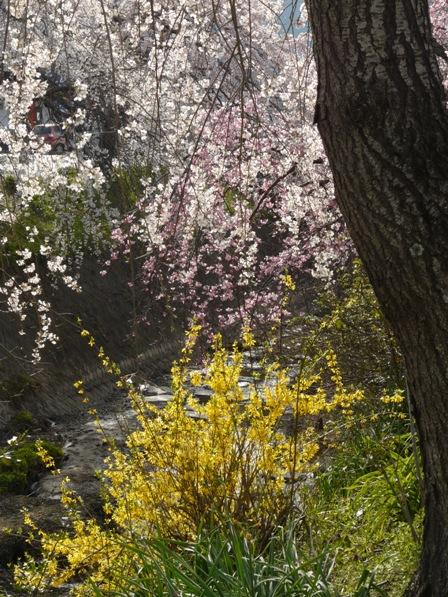 内子・郷の谷のしだれ桜 8