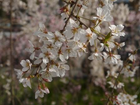 内子・郷の谷のしだれ桜 4
