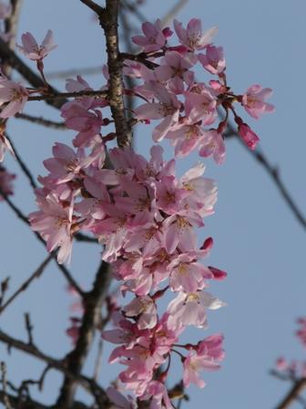 内子・郷の谷のしだれ桜 7