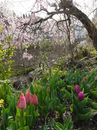 内子・郷の谷のしだれ桜 10