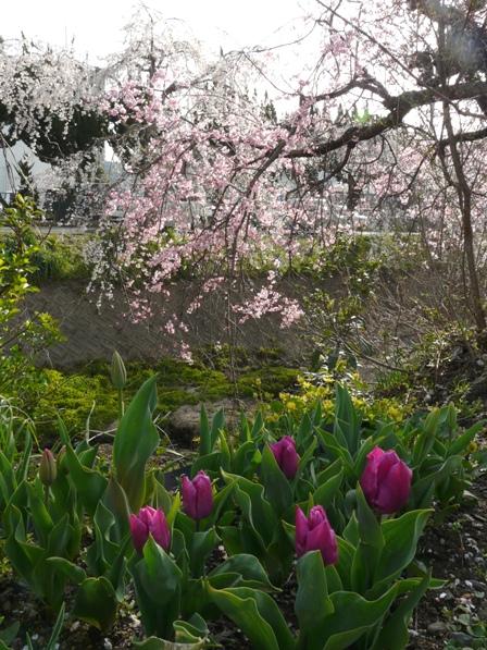 内子・郷の谷のしだれ桜 9