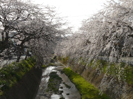 内子・郷の谷のしだれ桜 2