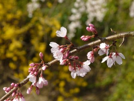 内子・郷の谷のしだれ桜 12