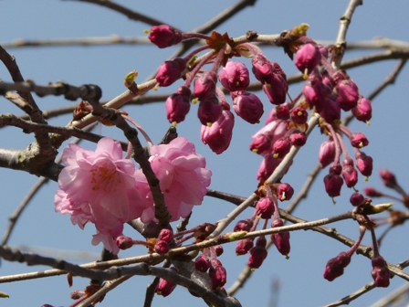 内子・郷の谷のしだれ桜 13