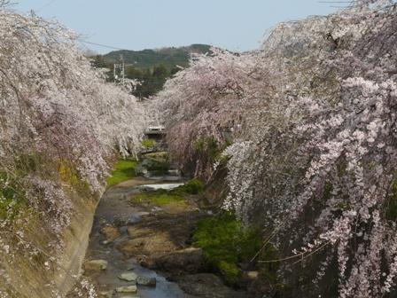 内子・郷の谷のしだれ桜 1