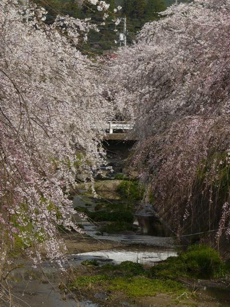 内子・郷の谷のしだれ桜 3
