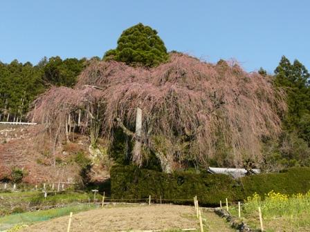 中越家のしだれ桜 (蕾) 1