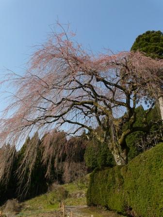 中越家のしだれ桜 (蕾) 2