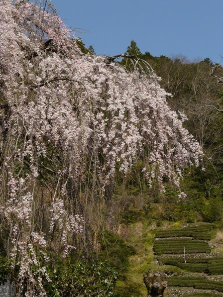 市川家のしだれ桜 2