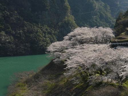 仁淀川町 桜風景 2