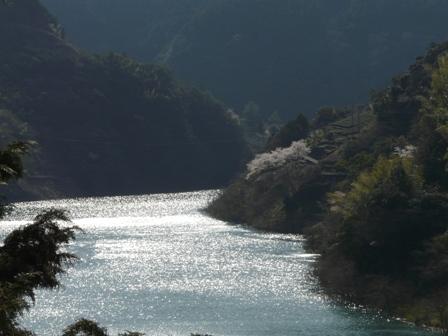仁淀川町 桜風景 4